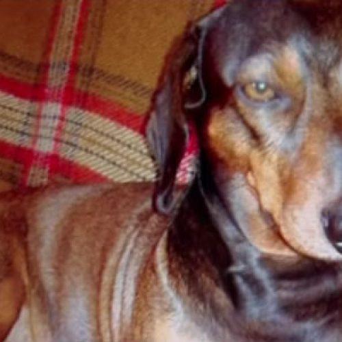 Cachorro morre ao tentar salvar o dono em ataque de pit bull
