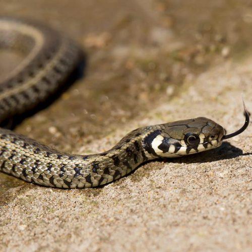 Homem é picado por cobra e morde esposa para não morrer sozinho