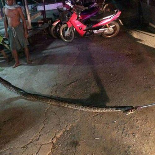Homem é estrangulado até a morte por cobra de 6,5 metros