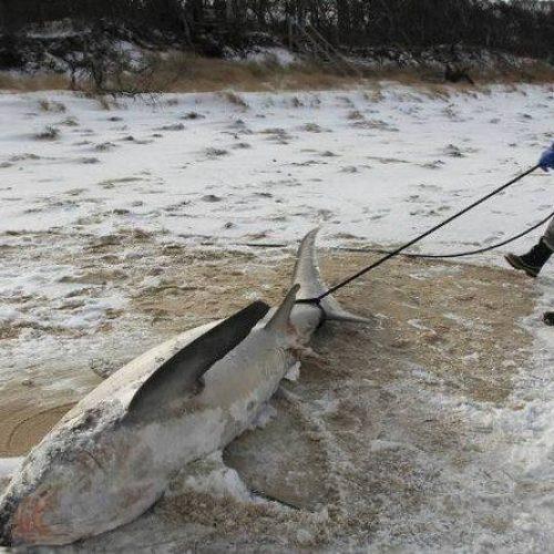 Incrível: Tubarões são encontrados congelados após onda de frio intensa nos EUA