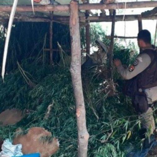 Polícia Militar identifica 10 mil pés de maconha com ajuda de drone na zona rural de Gandu